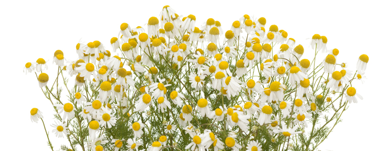 Chamomile flower bunch