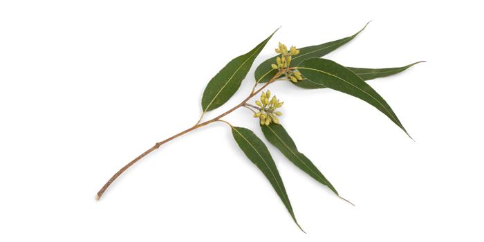 Eucalyptus essential oil, Eucalyptus oil, organic eucalyptus oil