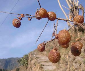 Soapberries fruits